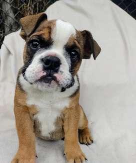 Bulldog inglés de 2 meses