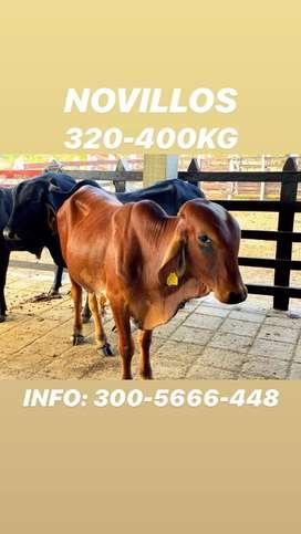 Novillos 320-400 kilogramos