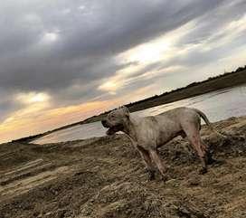 Perro dogo argentino para monta