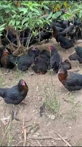 Vendo gallinas a 10 dolares