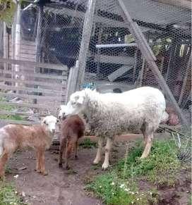 vendo tres ovejas