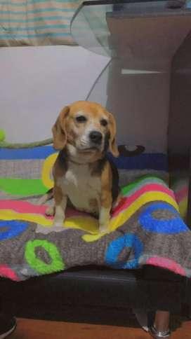 Perrita hermosa, raza beagle, tamaño pequeño en adopcion