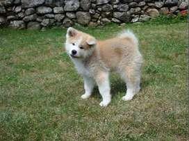 akita inu hermosos perritos divinos de alta pureza garantizada con documentos veterinarios