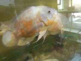 Oscar albino