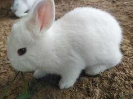 Vendo Camada de conejos nueva Zelanda con gigante