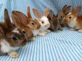 Conejos Rex satinados