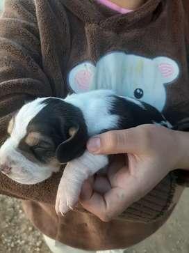 Cachorros basset hound