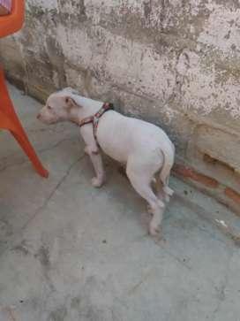 Vendo perro pitbull de 3meces legítimo un ojo verde y uno azul