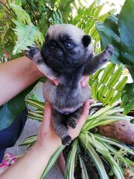 Bebés pugs