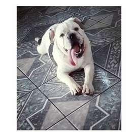 se vende perro bulldog ingles