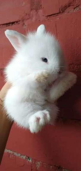 Conejo  belier Cabeza de Leon