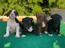 Cachorros pit bull hijos de naly