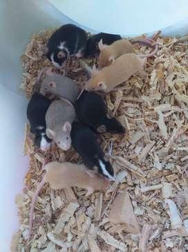 Ratones mexicanos. Ratones satinados