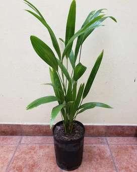 Palmera Latania - Livistona chinensis