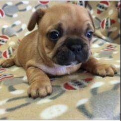 los mas lindos cachorros bulldog frances de 49 dias