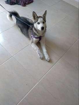se vende hermosa perra Husky Siberiano de 4 meses.