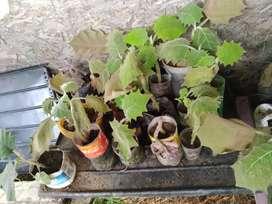 Venta de plantas de lulo