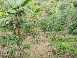 Lote de 3700 metros cuadrados sembrado en café y plátano