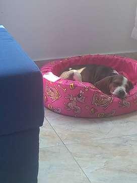 Vendo perra beagle económica