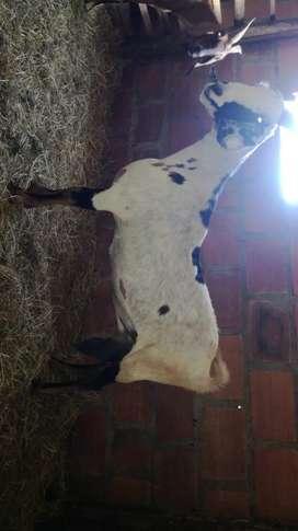 Cabra nubiana preñada