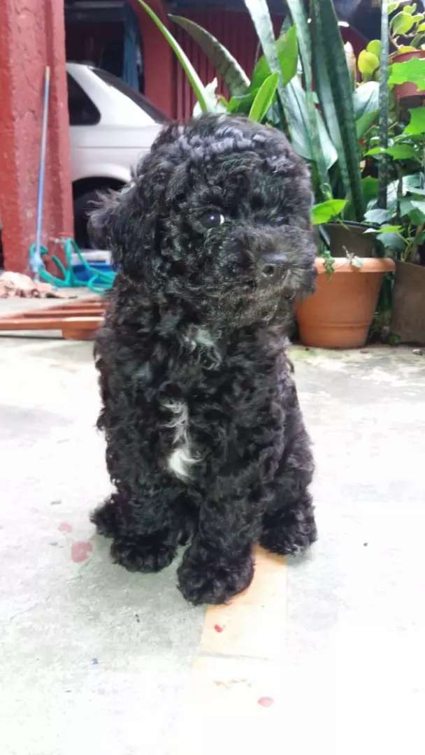 Perro french poodle 0