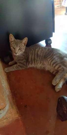 Gato macho juguetón para adopcion