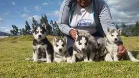 Vendo hermosos huskys siberianos envios a todo el país