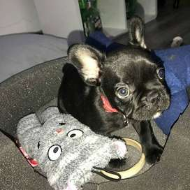 Bulldog frances oscuro, 7 semanas y media.