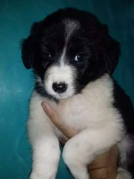Divinos border collie  Bn Gene