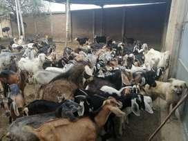 Se vende chivas de carne y de leche