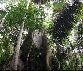 Remato Fundo Terreno 50 HA Agrícola, Maderera, Ganadera y/o Forestal Altamente Productivo en Tierra Blanca Ucayali