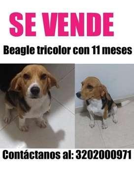 Perra beagle