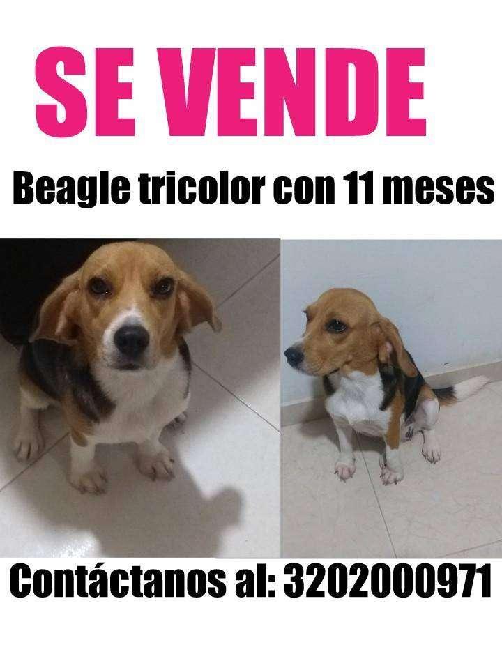 Perra beagle 0