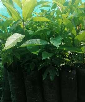 Venta de plantas de palta