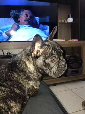 Busco novio urgente para mi Bulldog frances