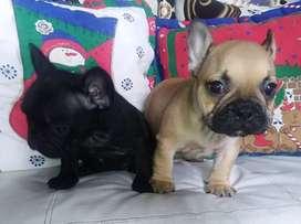 Hermosos Bulldog Frances