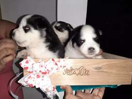 Cachorros Lobo siberiano