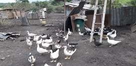 Ventas de patos
