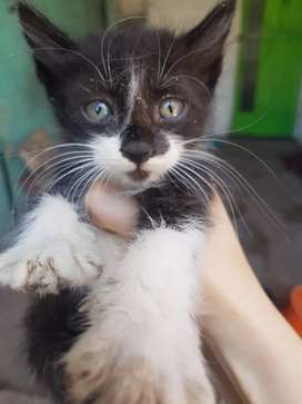 adopción gatitos