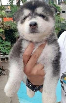 Alaska cachorro