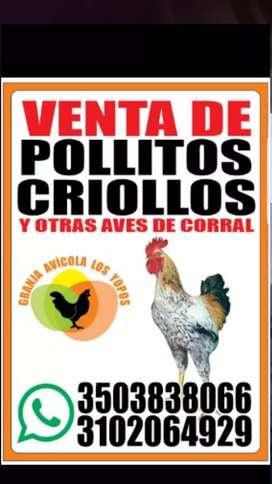 Pollitos criollos