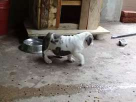 Venta de hermosa cachorrita bulldog ingles