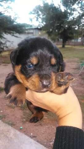 cachorro rotwailer