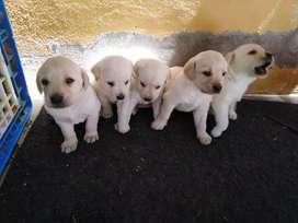 Se vende perritos labradores precio negociable