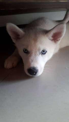 Vendo lobo siberiano macho, vacunado, desparacitado, dos meses de edad, garantía en salud.