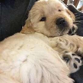 hermosos, tiernos cachorros de 49 días, también con vacunas