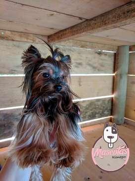 Hermosos cachorros yorkshire terrier yorkie
