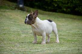 Hermoso Bulldog Frances Exotico