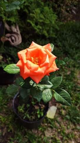 Vendo rosas