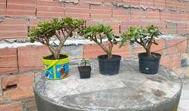 Hermoso bonsai JADE